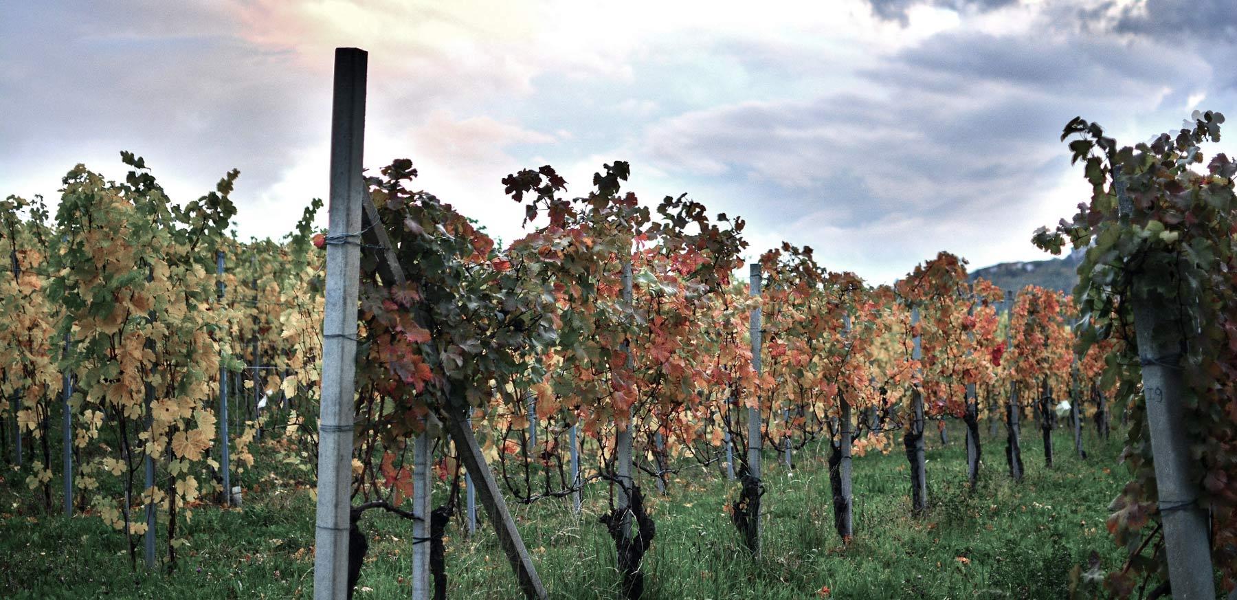 Weinberge von Giribaldi im Piemont