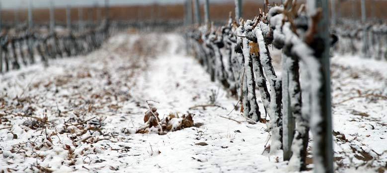 Die Reben von Giribaldi in der Winterruhe der Natur