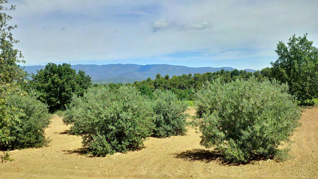 Olivenhaine gehören auch zum Château La Dorgonne - wie selbstverständlich