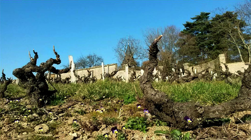 Knorrige Weinberge im Beaujolais