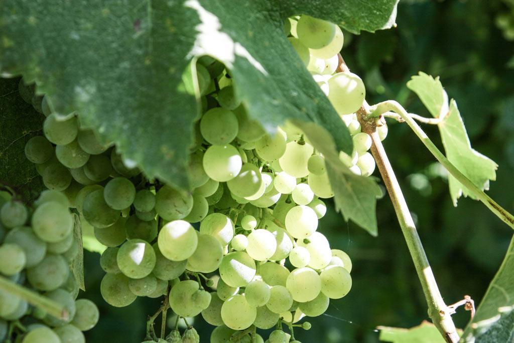 Pecorino ist eine alte Traubensorte aus den Marken