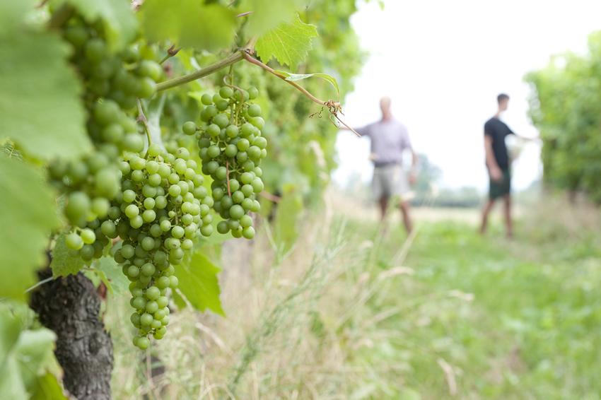 Seit Jahrhunderten wird in der Region westlich von Turin Wein angebaut.