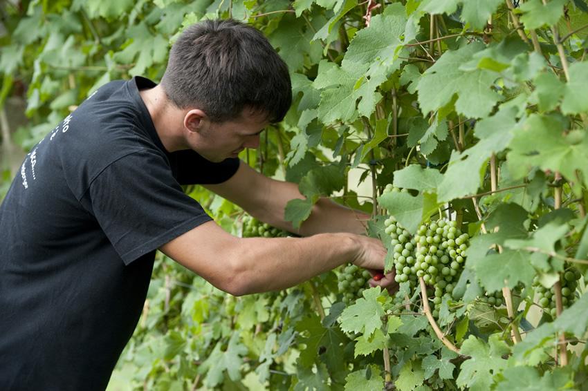 Handarbeit ist im Weinberg die Methode der Wahl