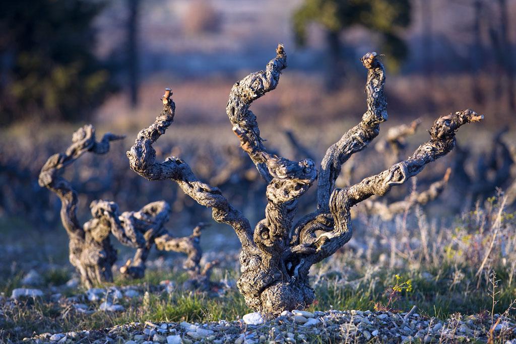 Die Reben werden im Winter fast vollständig zurück geschnitten