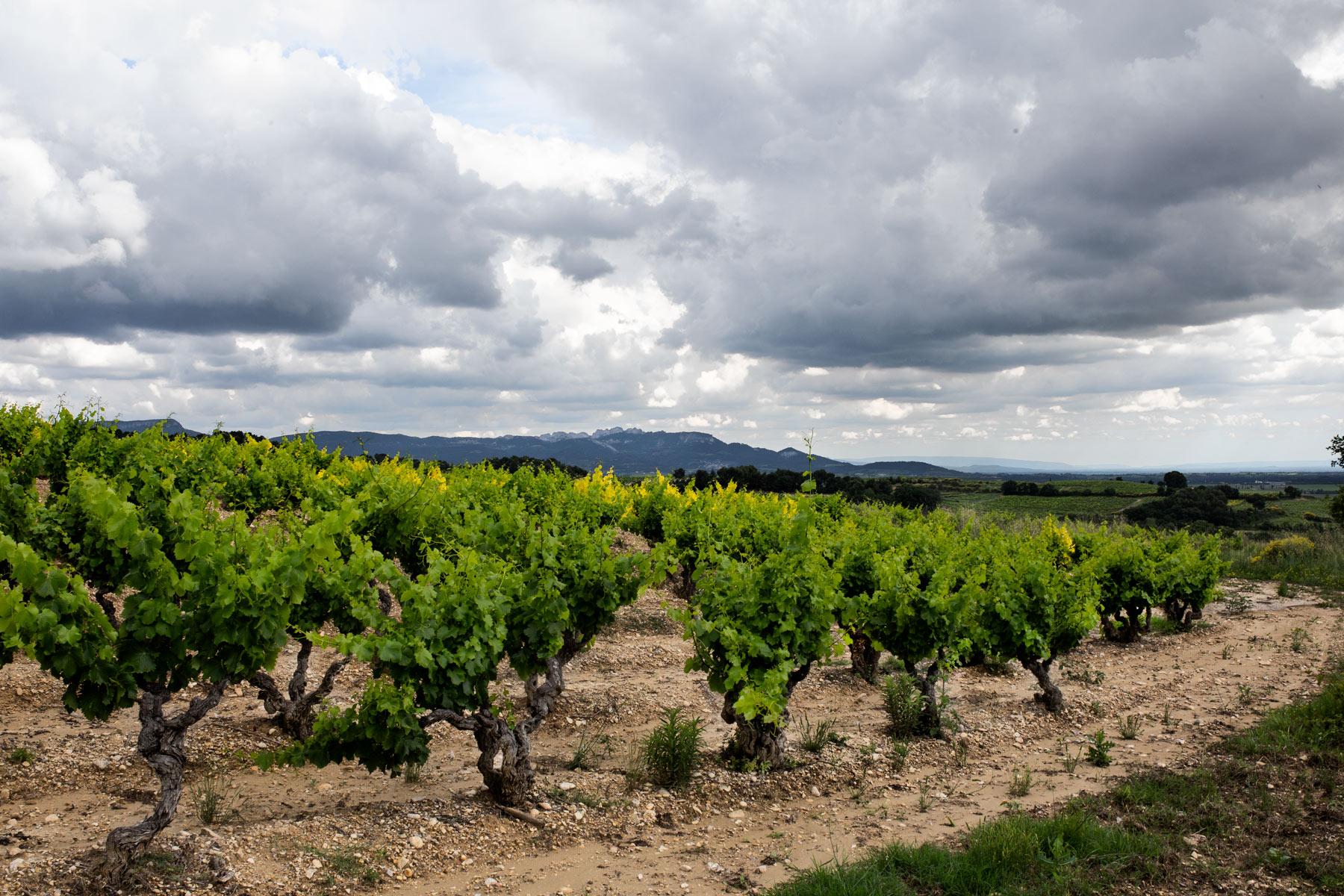 Alter Weinberg von Brusset oberhalb von Cairanne. Blick auf die Dentelles de Montmirail oberhalb von Gigondas und Rasteau, wo weitere Weinberge von Brusset liegen.