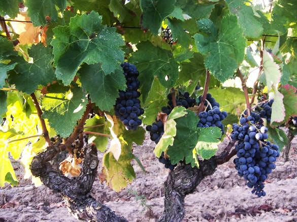 Carignan Reben im Minervois - die andere Seite dieser Weinregion