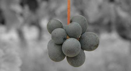 Die Beeren sind über Stiele zur Traube verbunden