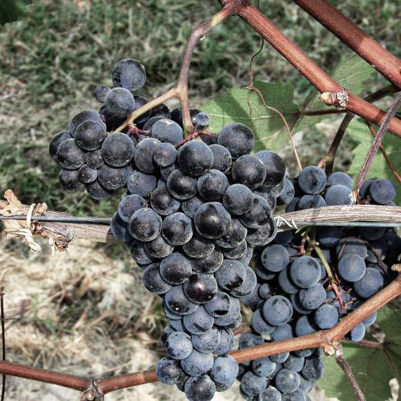 Dolcetto ist eine Rebsorte, die das Piemeont prägt
