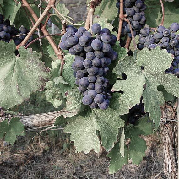 Im Piemont die meist angebaute Rebsorte: Barbera