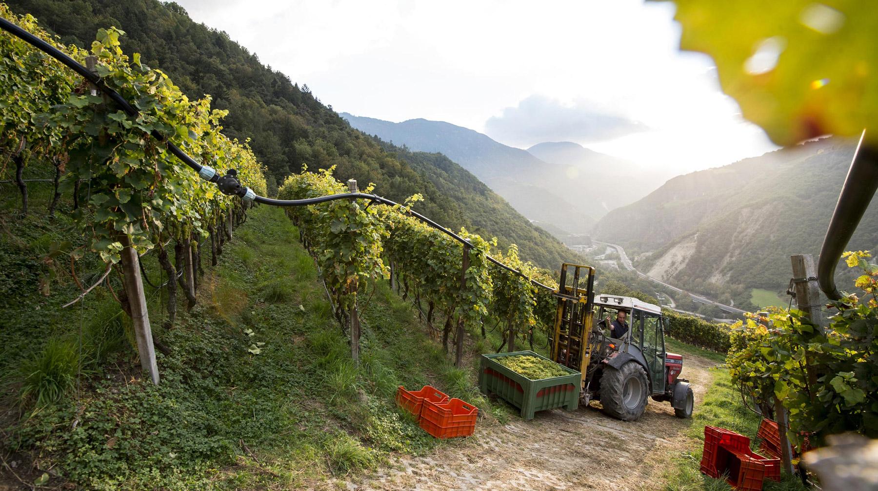 Steiler Weinberg in Südtirol, der Sonne zugewandt
