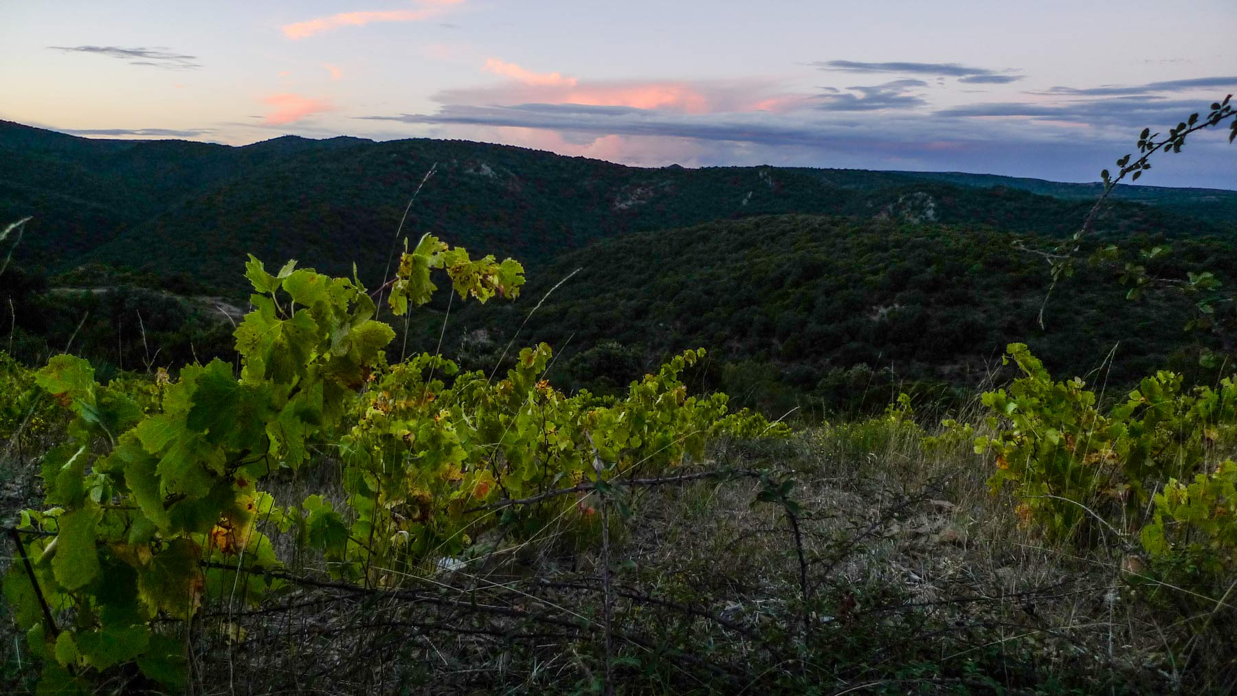 Steiler Weinberg im Languedoc, der Sonne abgewandt