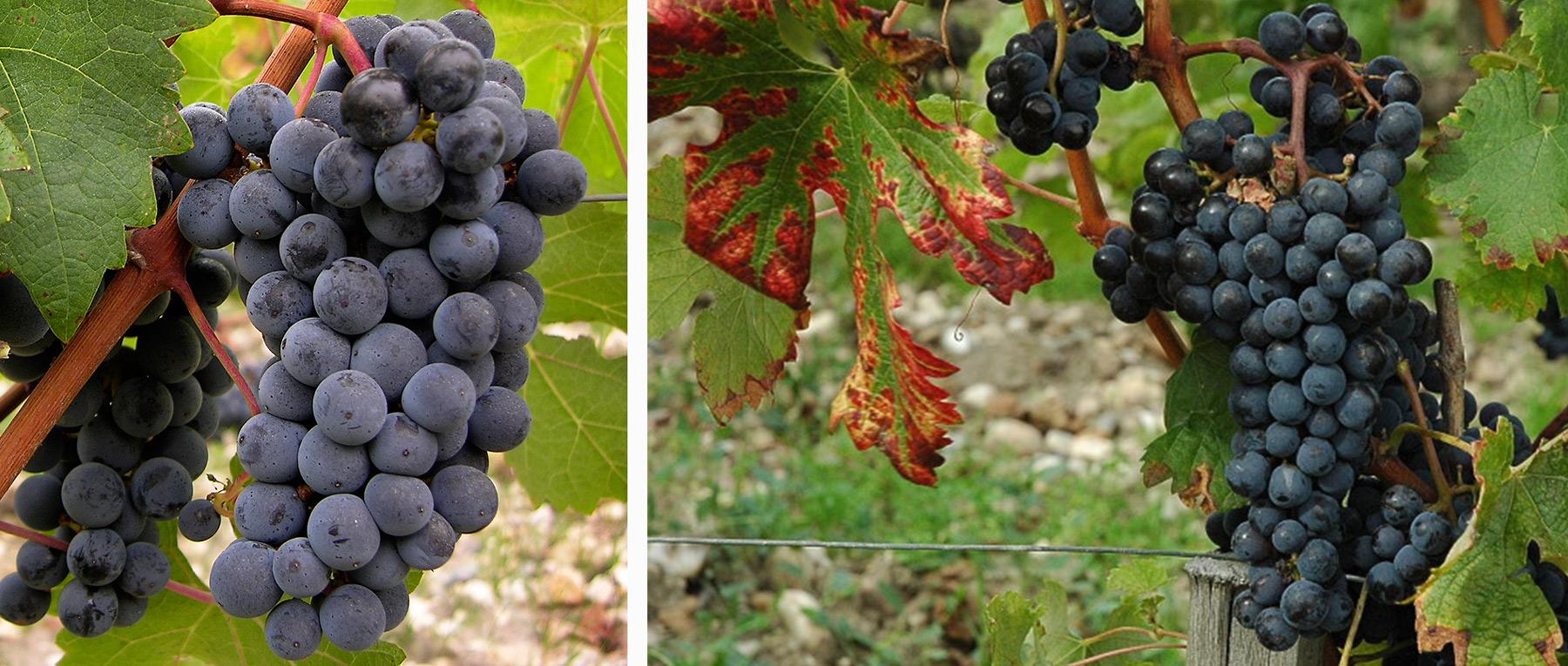 Cabernet Sauvignon ist eine der bekanntesten Rotweinsorten