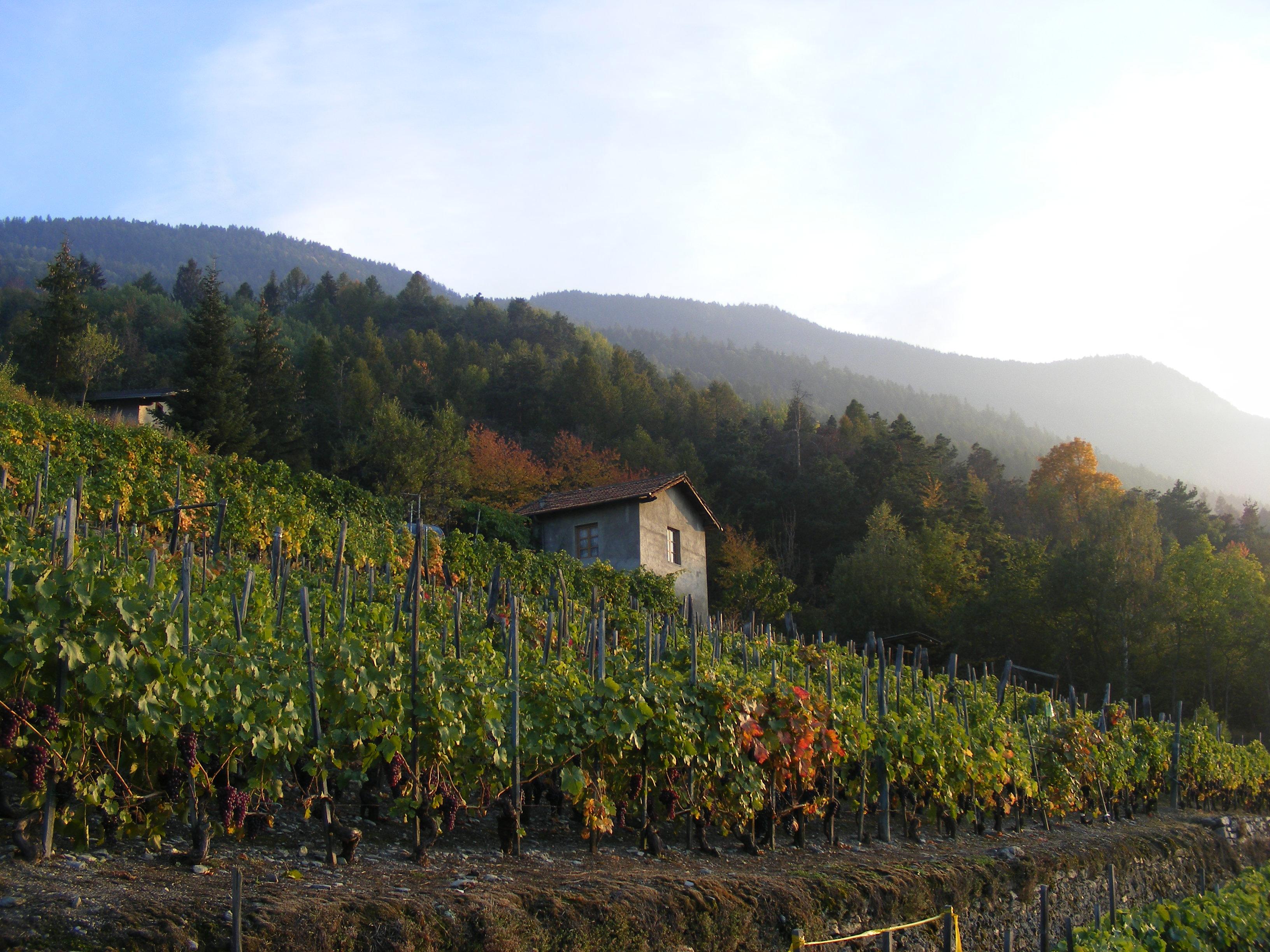 Weinberg von La Cantina di Cunéaz Nadir