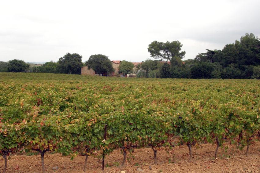 Die Reben von Brescou stehen um das Weingut. Der Transport nach der Lese dauert nicht lange.