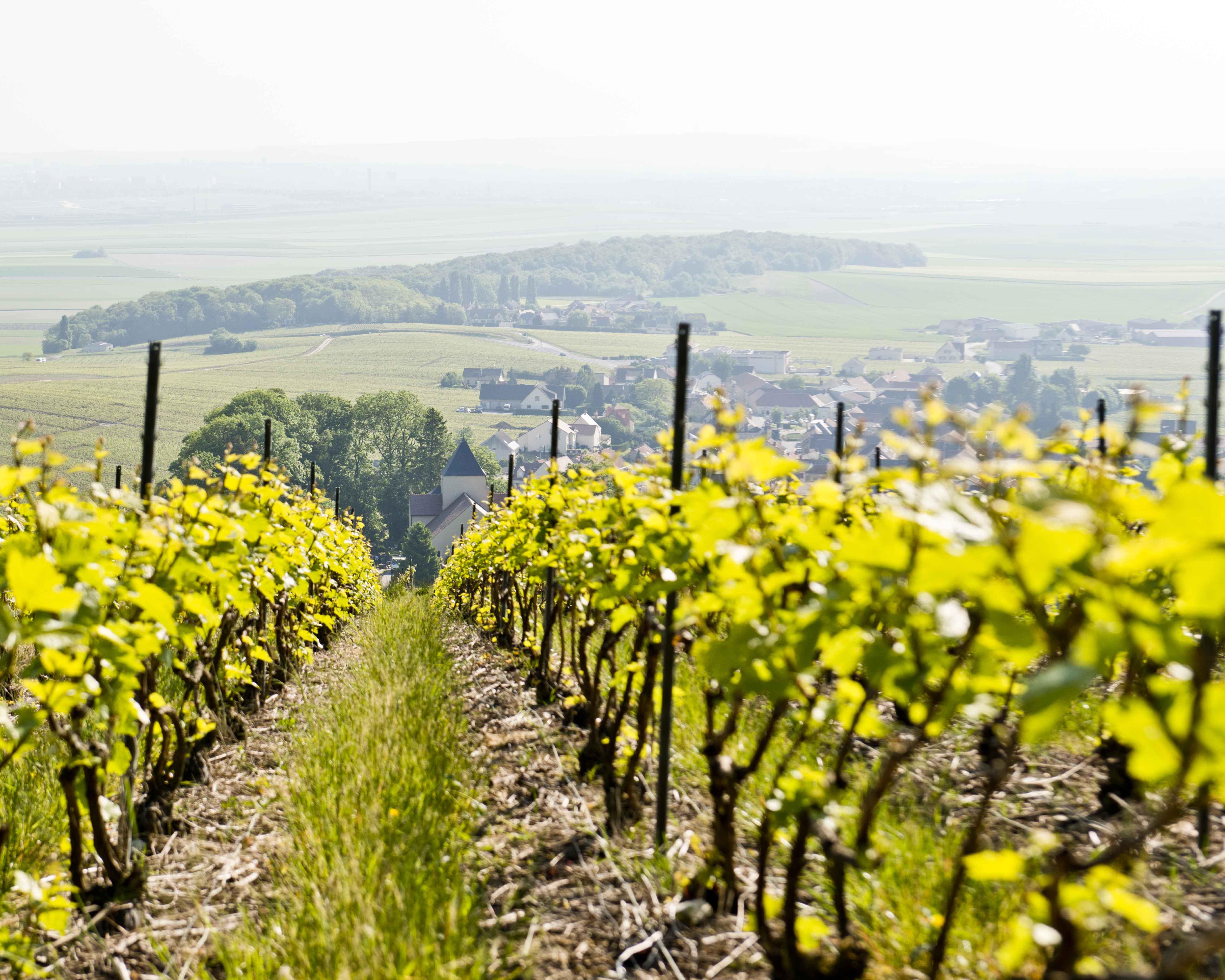 Auch der Champagner entsteht im Weinberg. Nicolas Meillart legt in sorgfältiger Arbeit hier die Grundlage für seine Weine