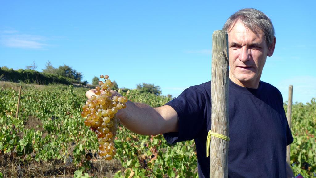 Reife Carignan Blanc Trauben auf der Domaine Modat im Roussillon